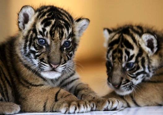 Global Tiger Initiative